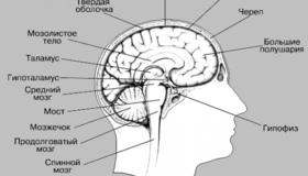 Recommended_struktura-golovnogo-mozga-cheloveka